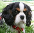 Cavalier King Charles Spaniel, 4 months, Tri Color